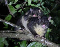 Mountain brushtail possum mum & bub