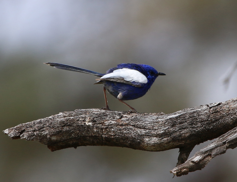 Male white-winged fairy-wren