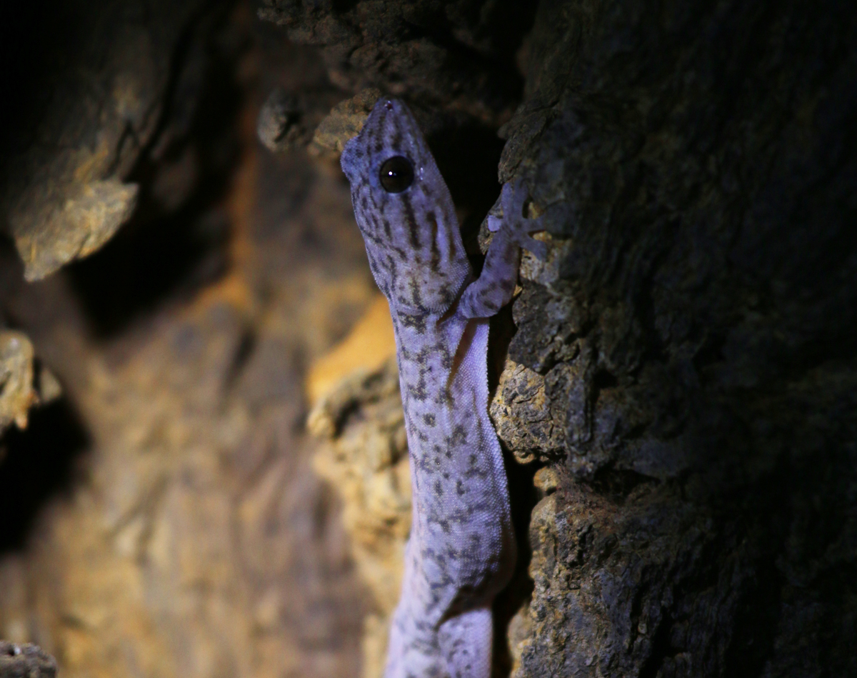 Tree dtella (gecko)