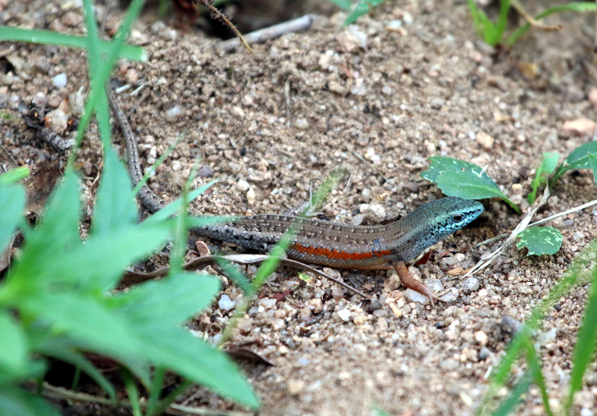 Southern rainbow skink