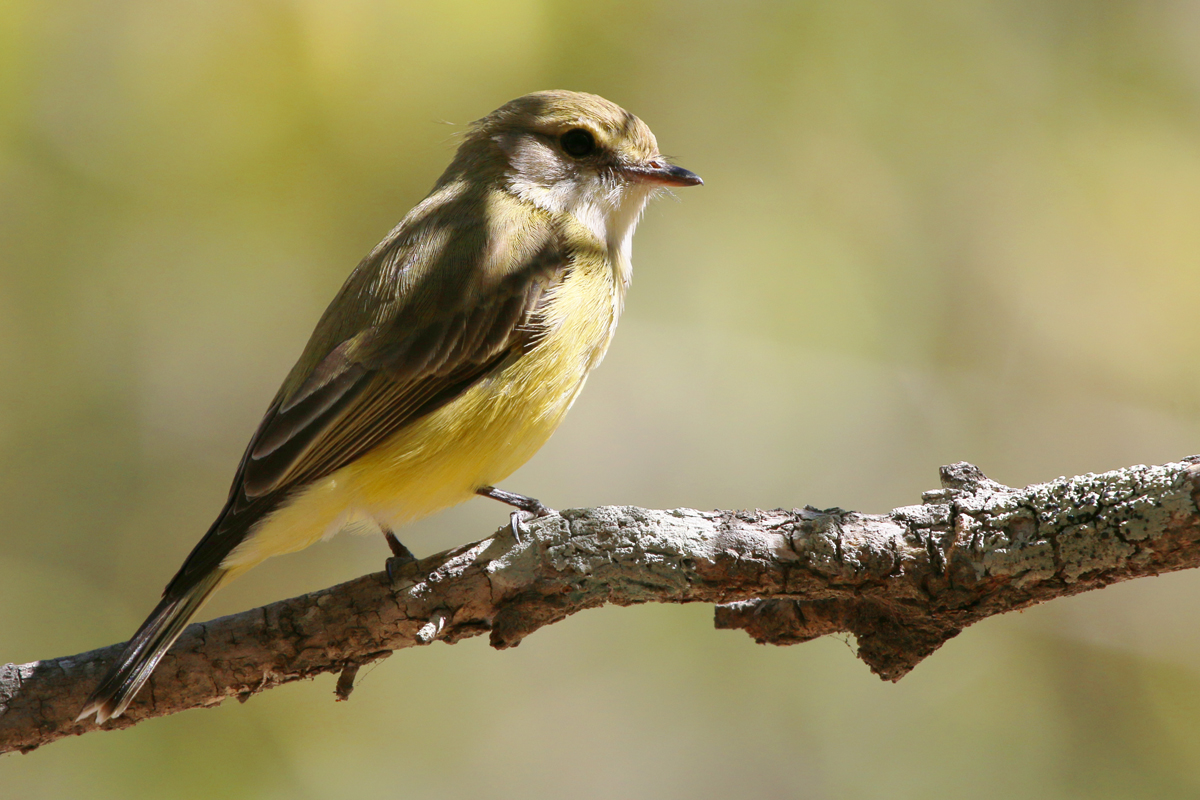 Lemon bellied flycatcher