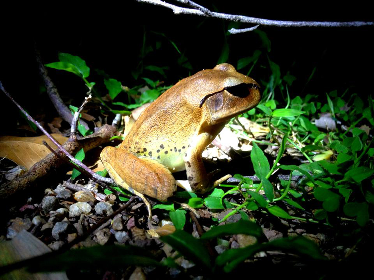 Australian Great Barred Frog