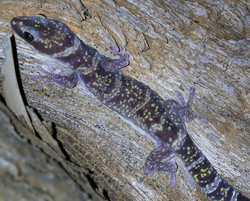Marbled gecko