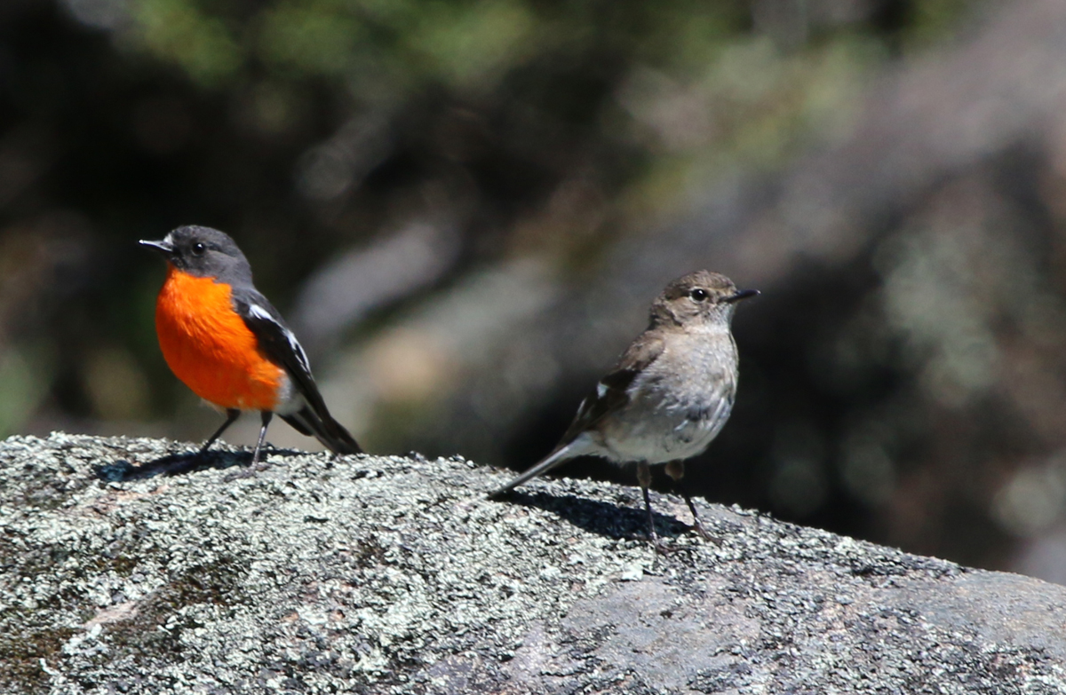 Mate feeding in flame robins