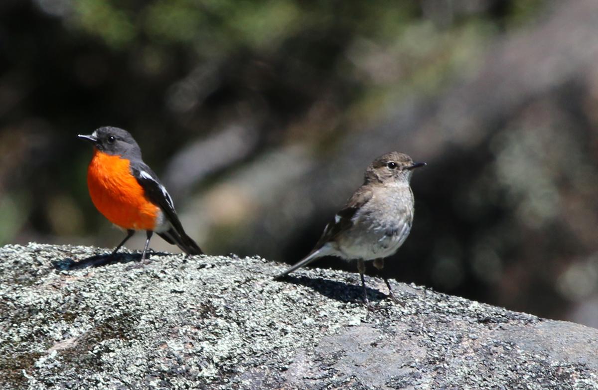 Mate feeding in flame robins