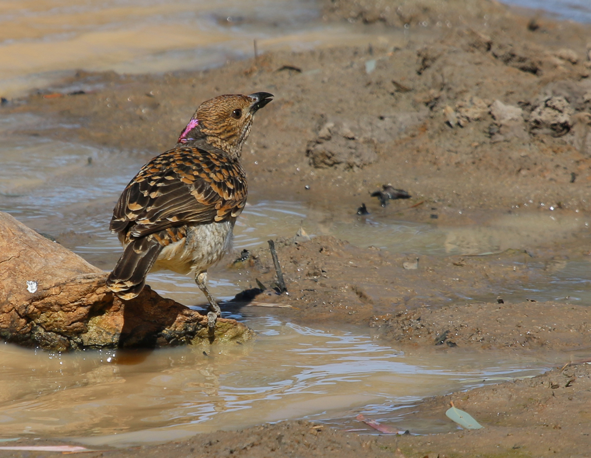Spotted bowerbird drinking