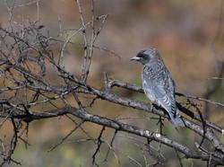 Juvenile masked woodswallow