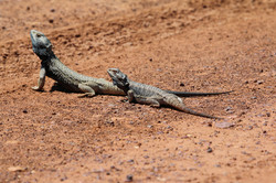 Central bearded dragons