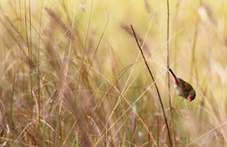 Red-browed firetail finch foraging