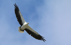 White-bellied sea eagle soaring