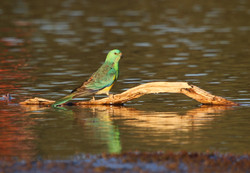 Male red-rumped parrot
