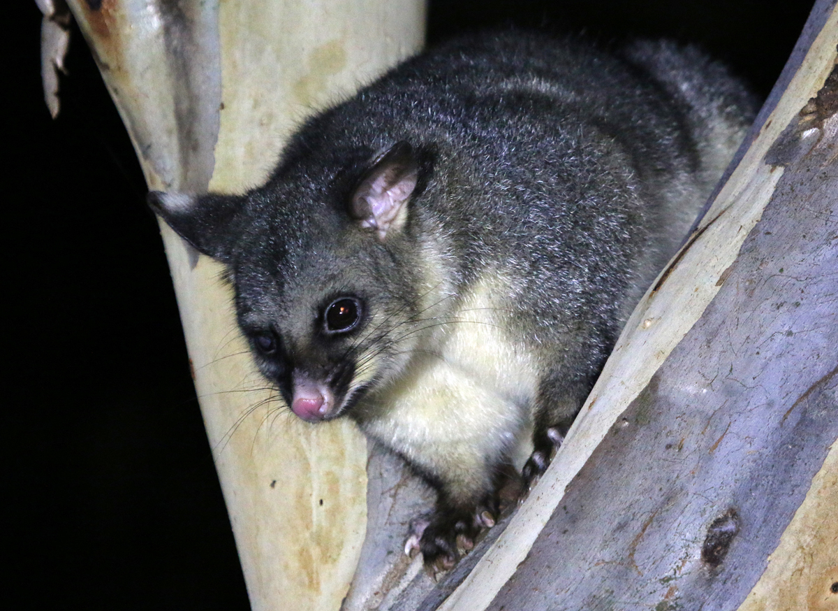 Right-eye blind brushtail possum