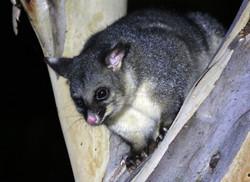 Right-eye blind brushtail possum