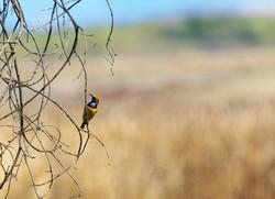 Male olive-backed sunbird