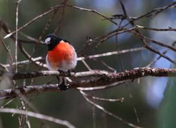 Male scalet robin