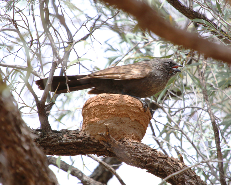 Apostlebird on nest