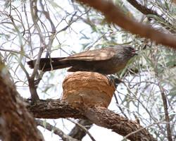 Apostlebird on nest