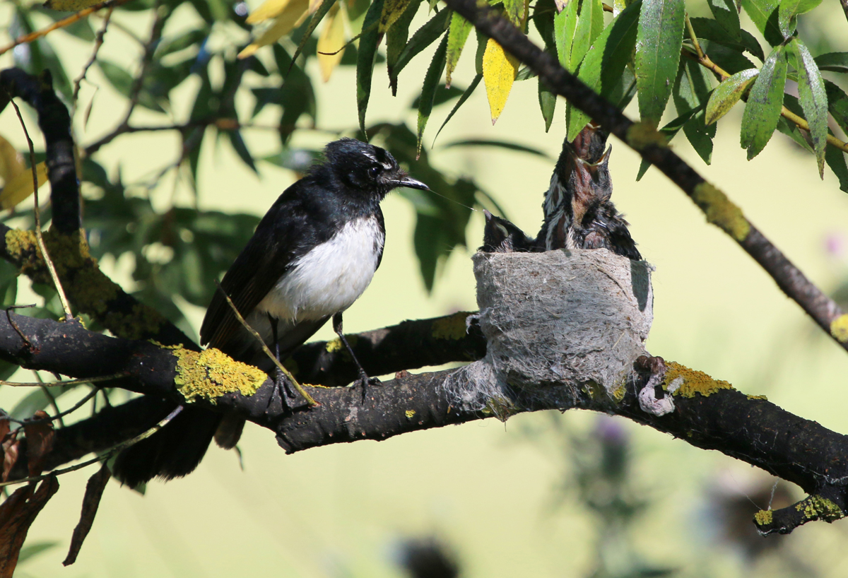 Willie wagtail nestlings being fed