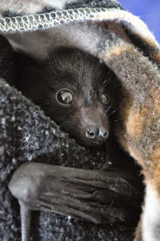 Black flying fox (fruit-bat)