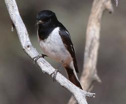 Male hooded robin