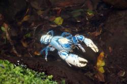 Lamington Plateau crayfish