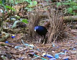 Satin bowerbird in bower