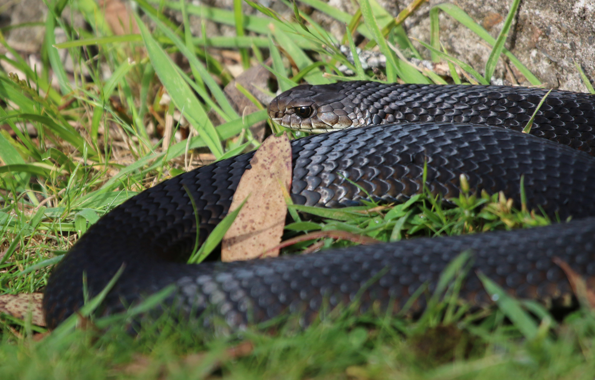 Red-bellied black snake sunbathing