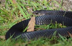 Red-bellied black snake sunbathing