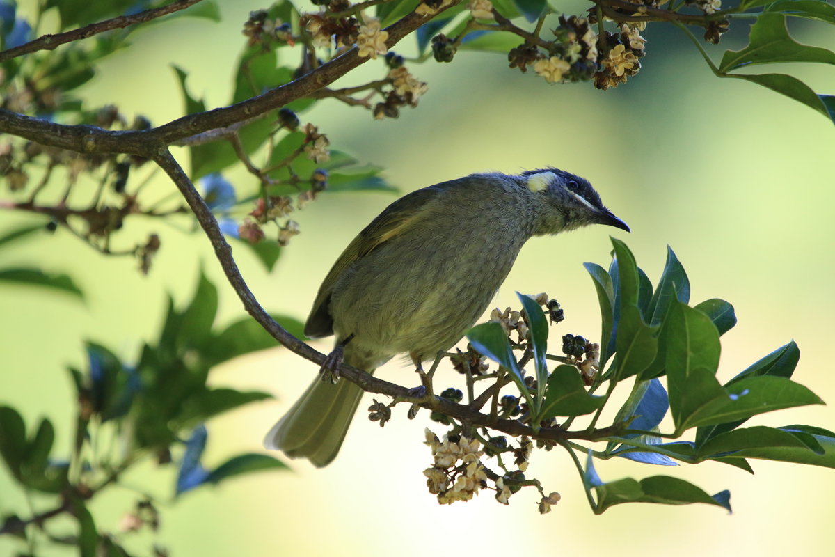 Lewins honeyeater feeding on seeds