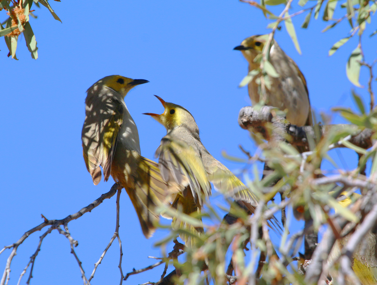White-plumed honeyeaters feeding