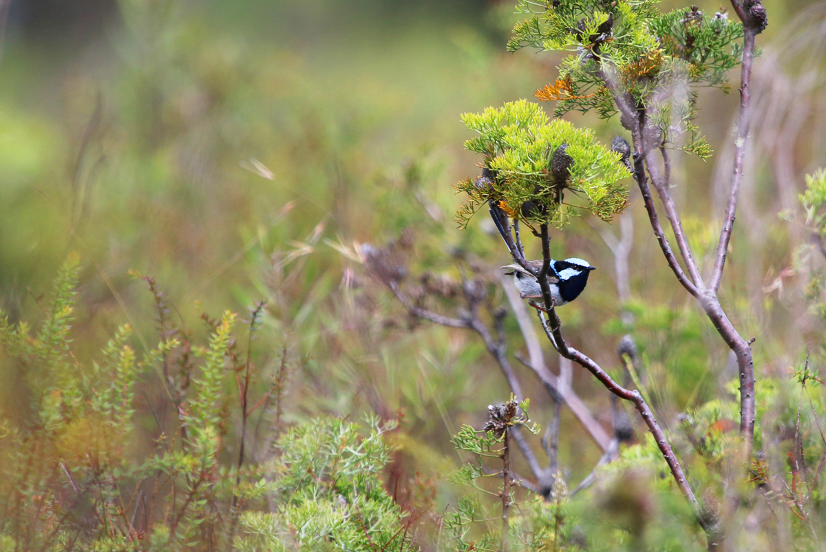 Male superb fairy wren on lookout