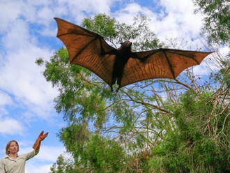 McCallum and Peel among international team given $2.1 million grant to study bat disease