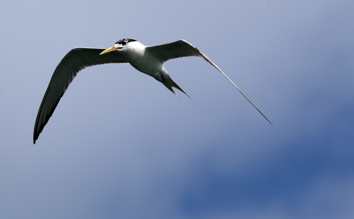 Crested tern soaring