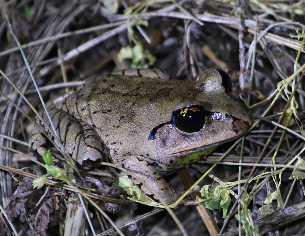 Great barred-frog