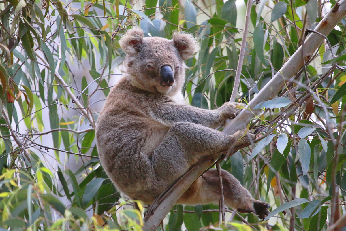 It's a hard life being a koala!