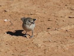 Chestnut rumped thornbill