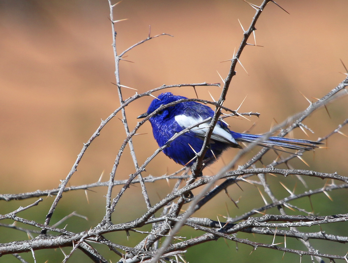 Male white-winged fairywren