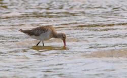 Bar-tailed Godwit foraging