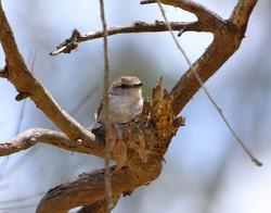Jacky winter on nest
