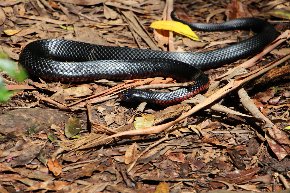 Red-bellied black snake basking