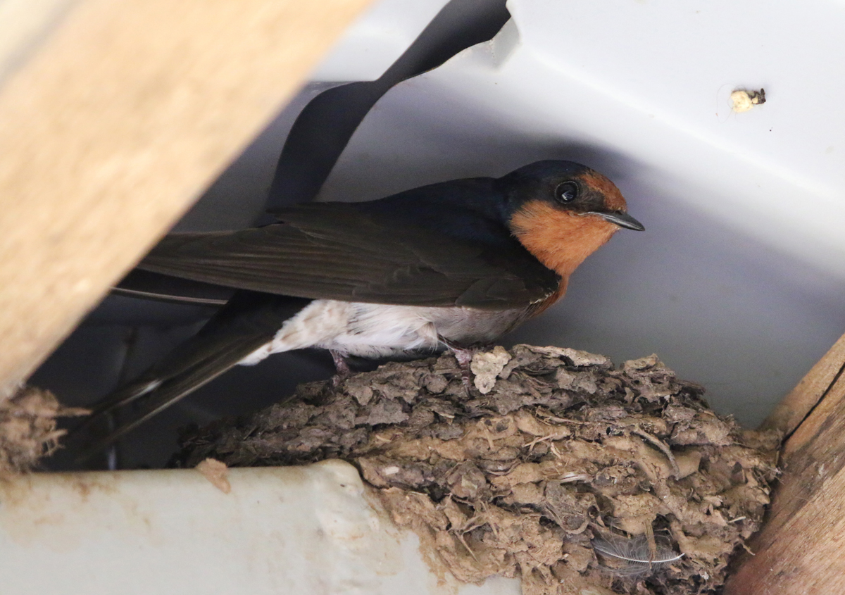 Welcome swallow on nest