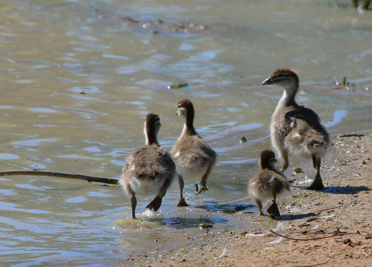 Australian wood ducklings