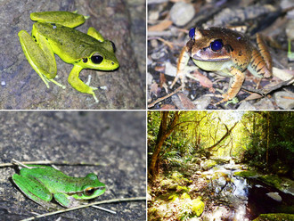 "Funded! ""Amphibians of the World Heritage-listed Gondwana Rainforests: Distribution, habitat us"