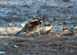 Black-fronted dotterel and young