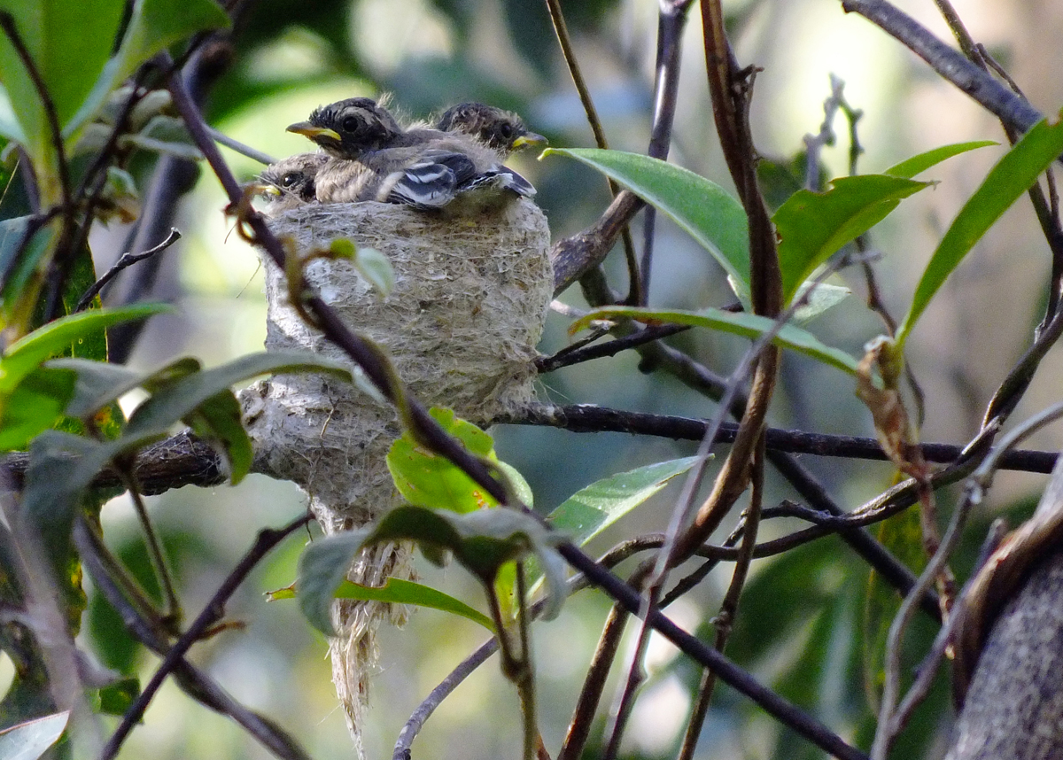 Grey fantail nestlings after feeding