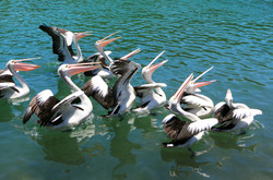 Pelicans catching discarded fish
