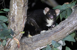 Greater glider foraging at night