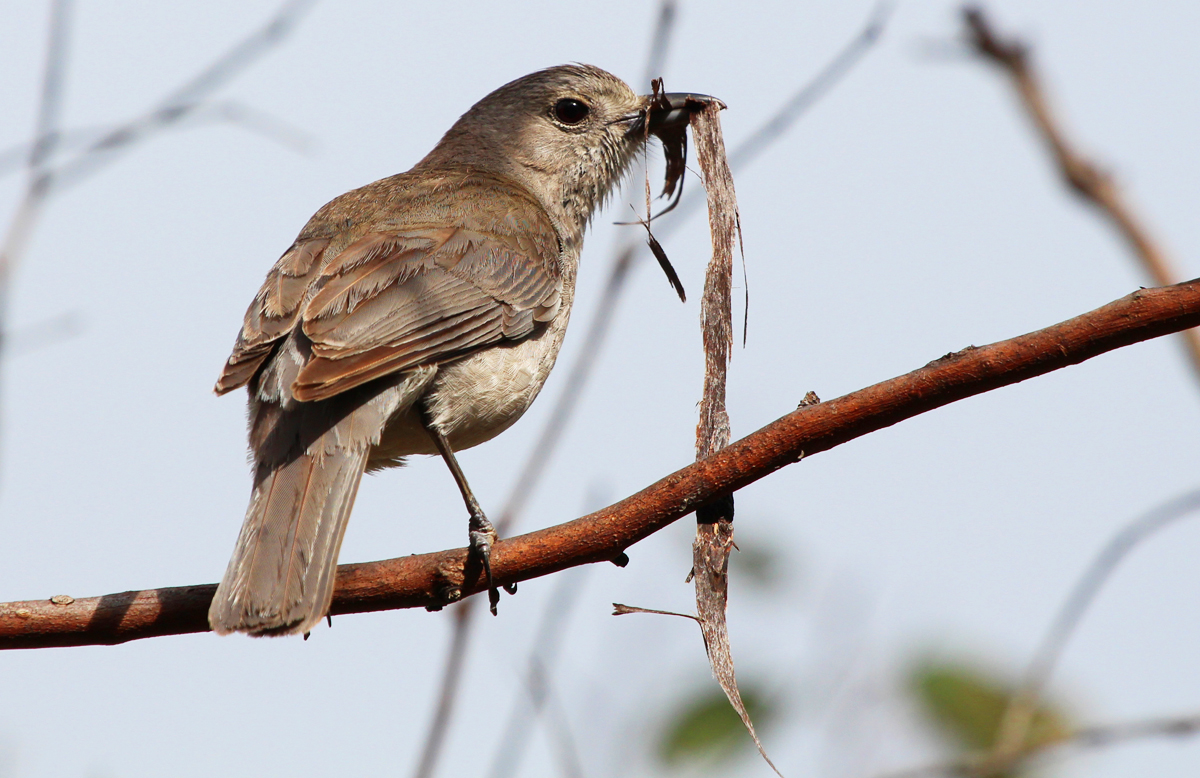 Grey shrike-thrush nest-building
