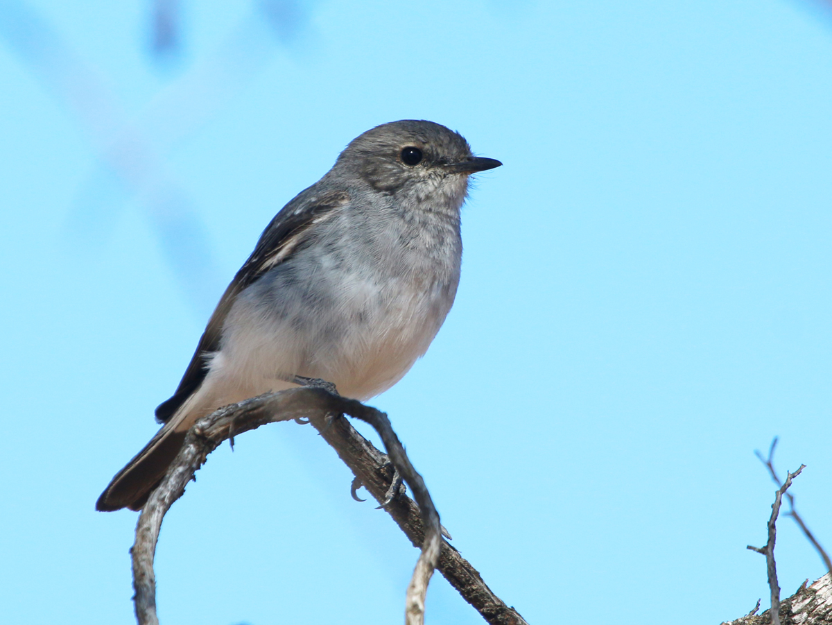 Female hooded robin