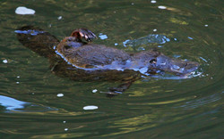 Platypus scratching with hindlimb